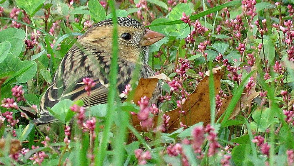 Harrissparrow 1.jpg