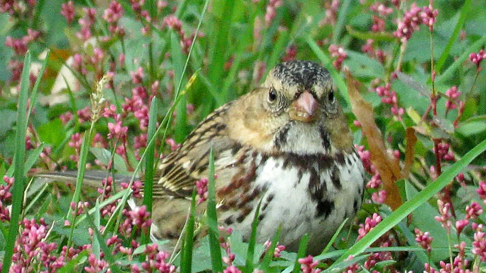 Harrissparrow 4.jpg