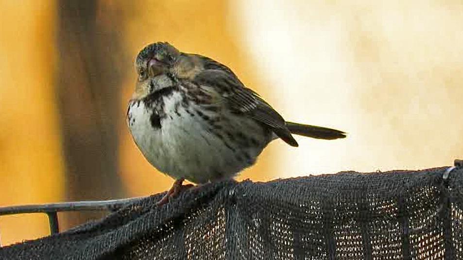 Harrissparrow 7.jpg