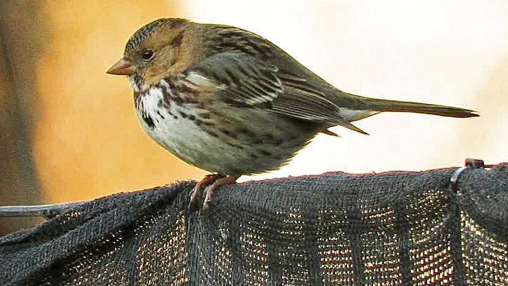 Harrissparrow 11.jpg