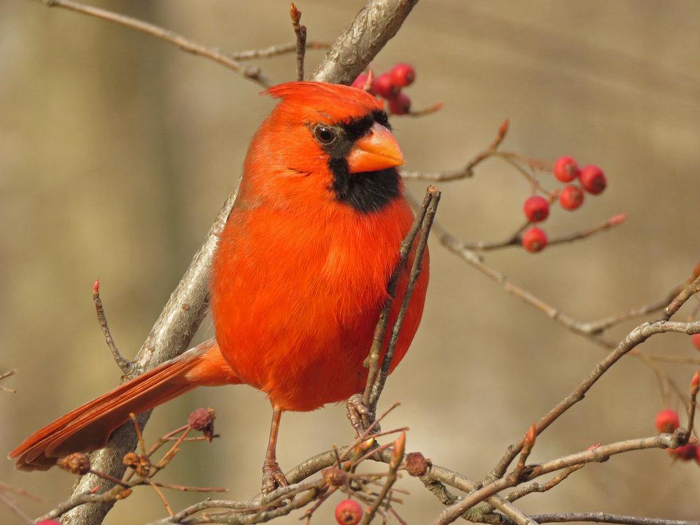 Northern cardinal, Central Park, December 24, 2018