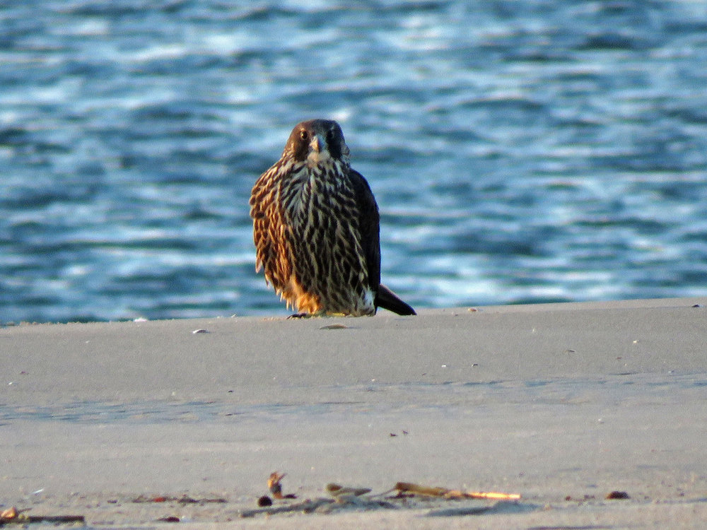Young peregrine falcon on the beach at Breezy Point, Queens, December 27, 2018.
