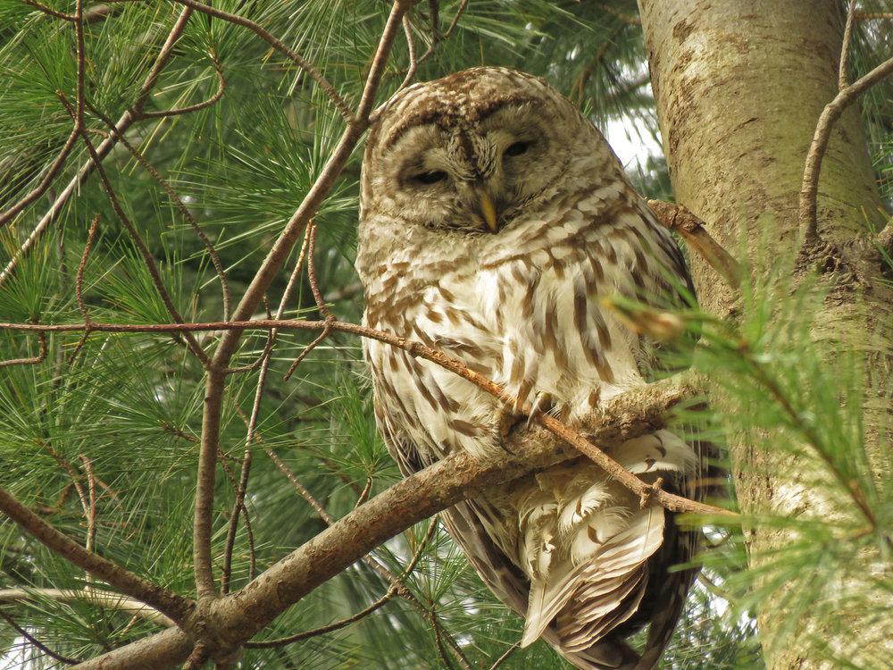 Barred owl, Pelham Bay Park, January 9, 2019