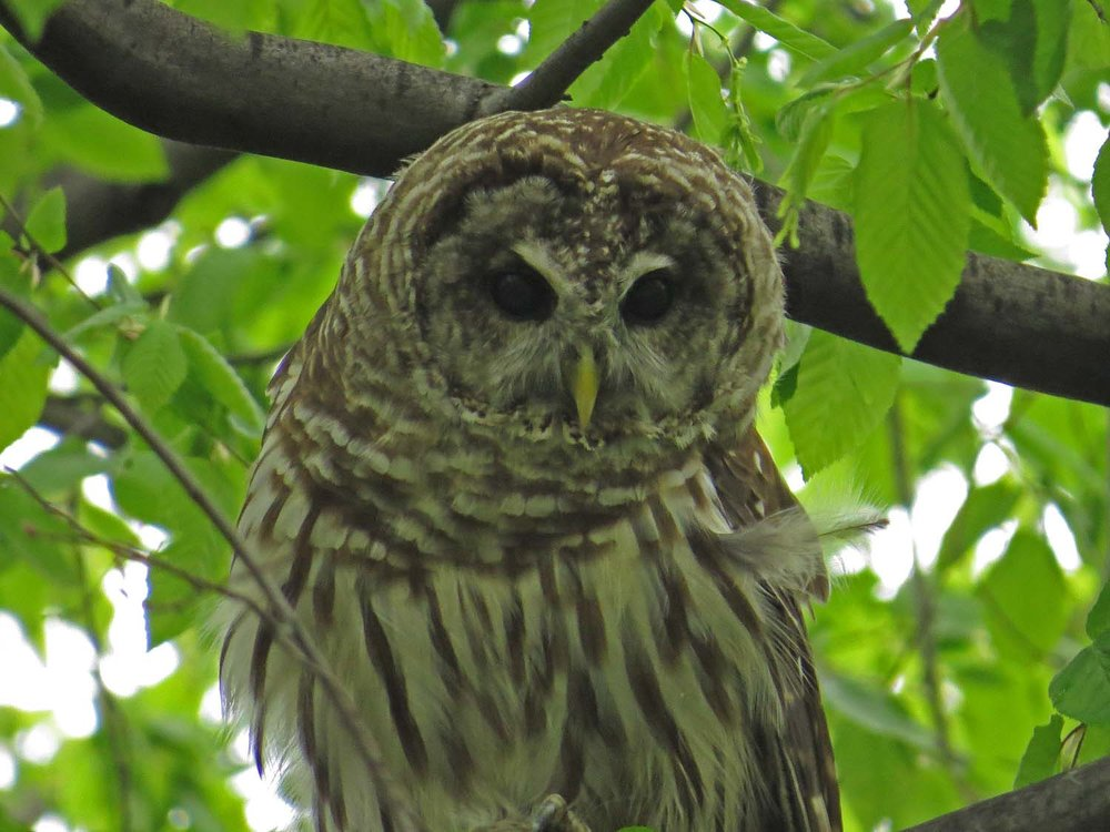 Barred owl, April 26, 2017, the Ramble, Central Park