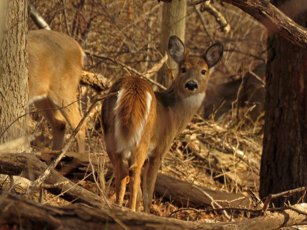 White-tailed deer, Hunter Island, Pelham Bay Park, January 9, 2019
