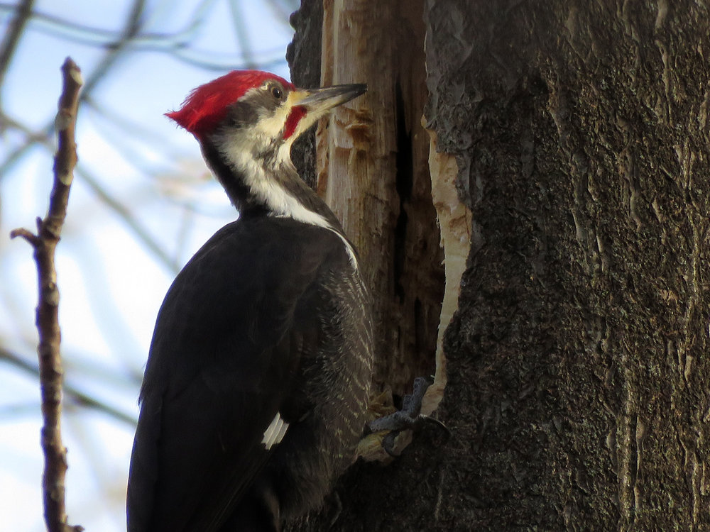 Pileated woodpecker, Pelham Bay Park, January 11, 2019