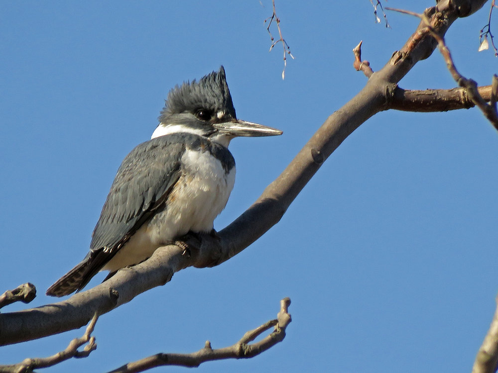 Belted kingfisher, Marine Park, Brooklyn, January 30, 2019