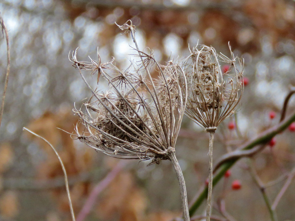 Two bird's nests from Queen Anne's Lace, Floyd Bennett Field, January 29, 2019