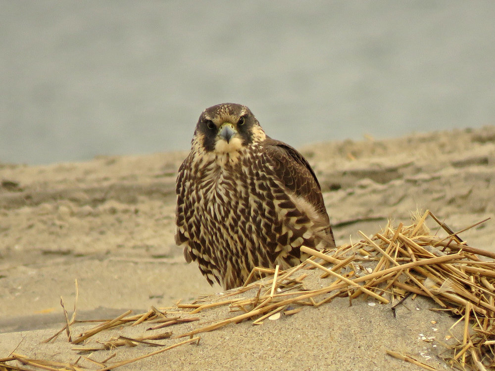 Young peregrine falcon, Breezy Point, Queens, February 22, 2019