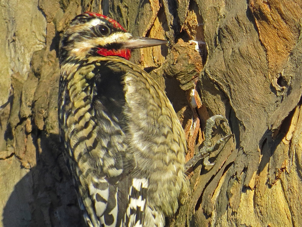 Yellow-bellied sapsucker, Central Park, January 5, 2015