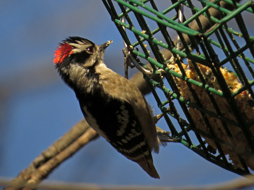Downy woodpecker at the feeders, dining on a suet blend, April 1, 2017