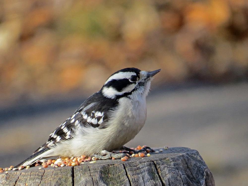 A female downy woodpecker at Laupot Bridge, Central Park, January 1, 2015