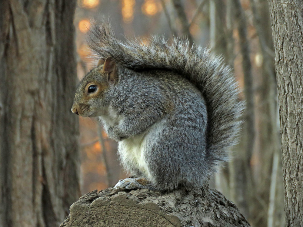 A squirrel in the Ramble, Central Park