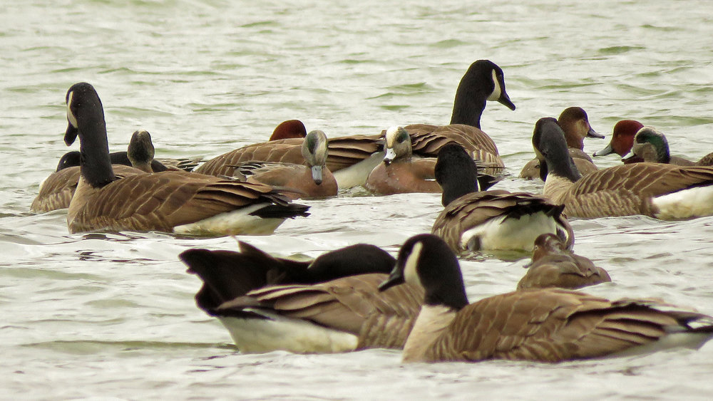 Canada geese, American wigeons and redheads on Baisley Pond, February 15, 2019