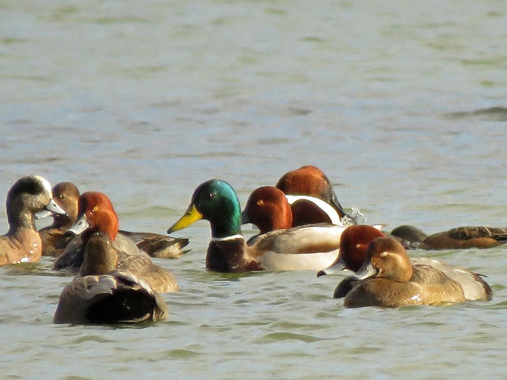 American wigeons, redheads, mallard, February 15