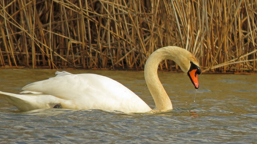 A regal mute swan tests the water, February 15, 2019