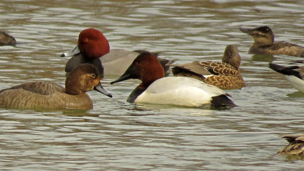 Redheads and a canvasback, February 15