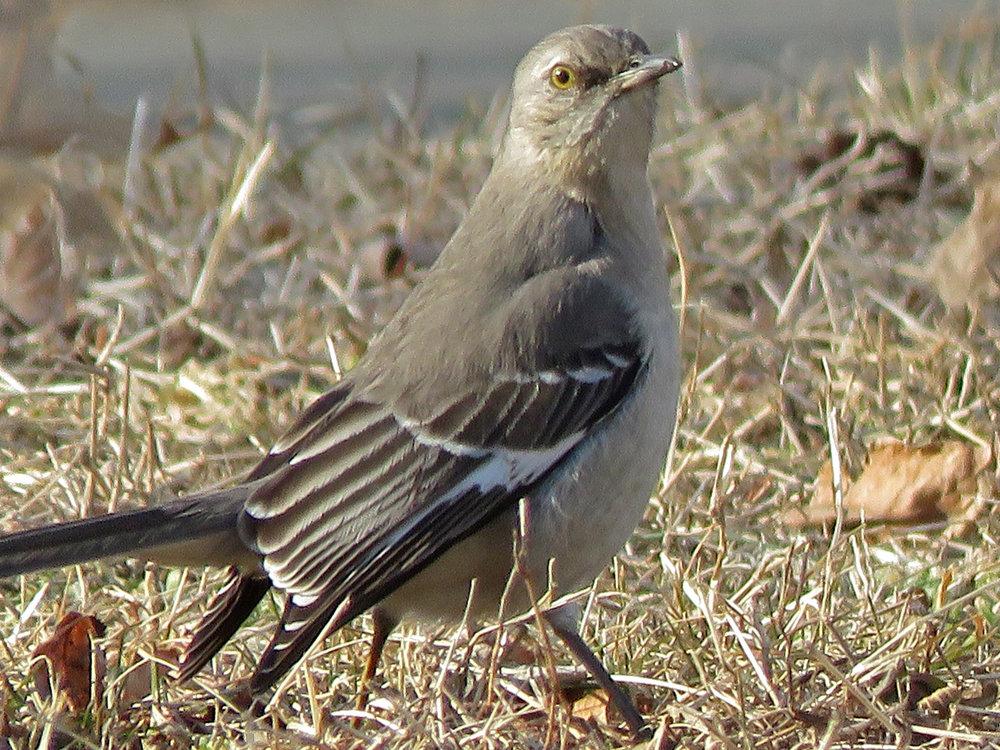 A northern mockingbird, February 15