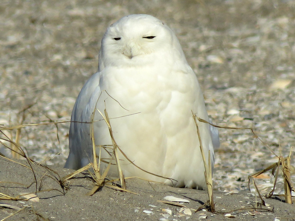 Snowy owl, Breezy Point, Queens, March 5, 2019. Almost completely white, so probably an adult male.