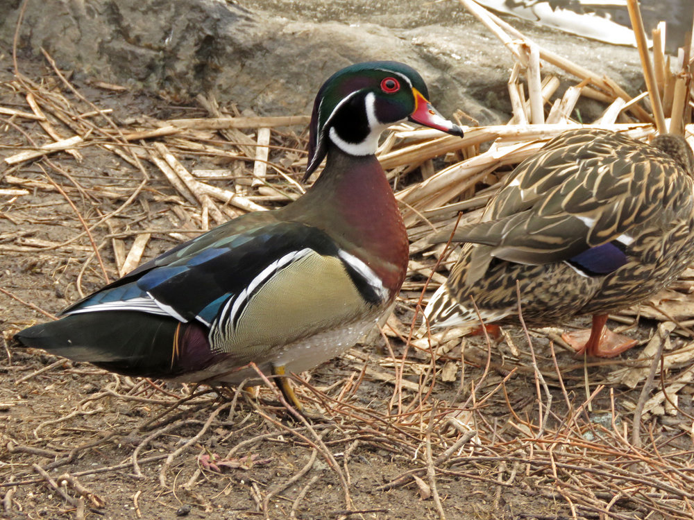 Woody was nipping at Mandy and trying to impress a female mallard