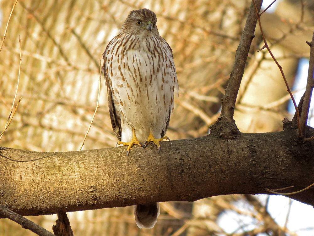 Young Cooper's hawk at the feeders in Central Park, March 22, 2019