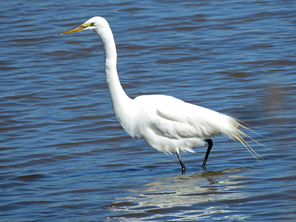 Great egret, Wolfe's Pond, Staten Island, March 26, 2019