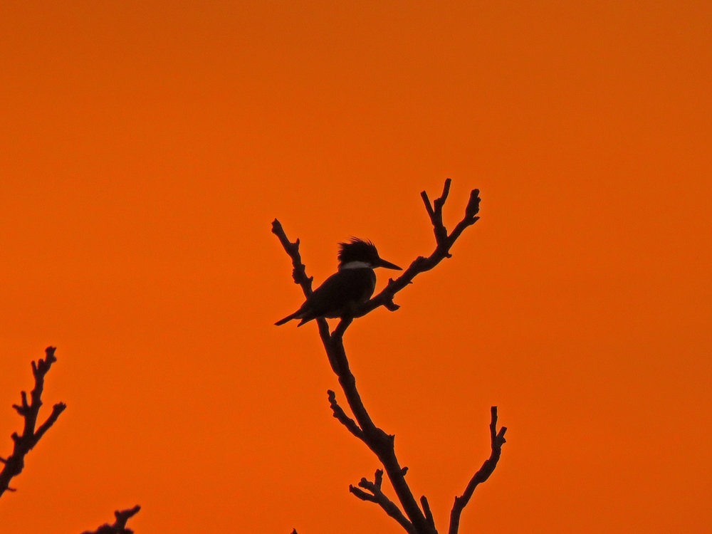 A belted kingfisher at sunset on March 26, 2019, seen from the beach between Mt. Loretto Unique Area and the Lemon Creek pier on Staten Island. A fire near the area was causing a lot of smoke, which created a dramatic red background as the sun went down.