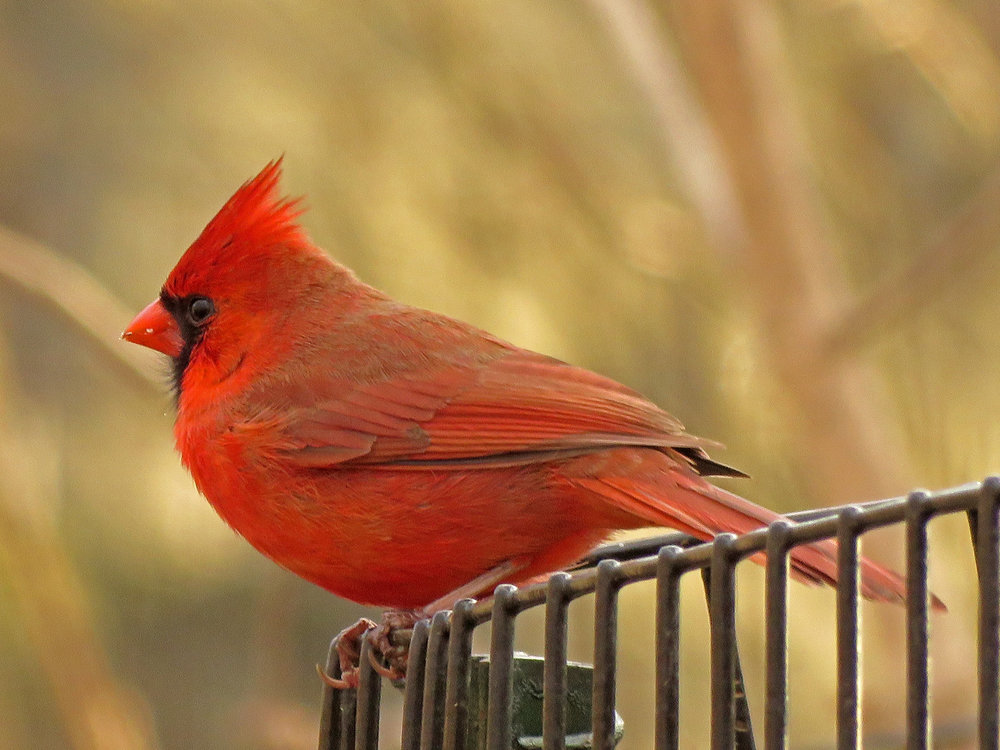 Cardinal 1500 3-31-2019 (16)P.jpg