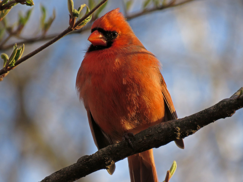 Cardinal 1500 3-31-2019 (53)P.jpg