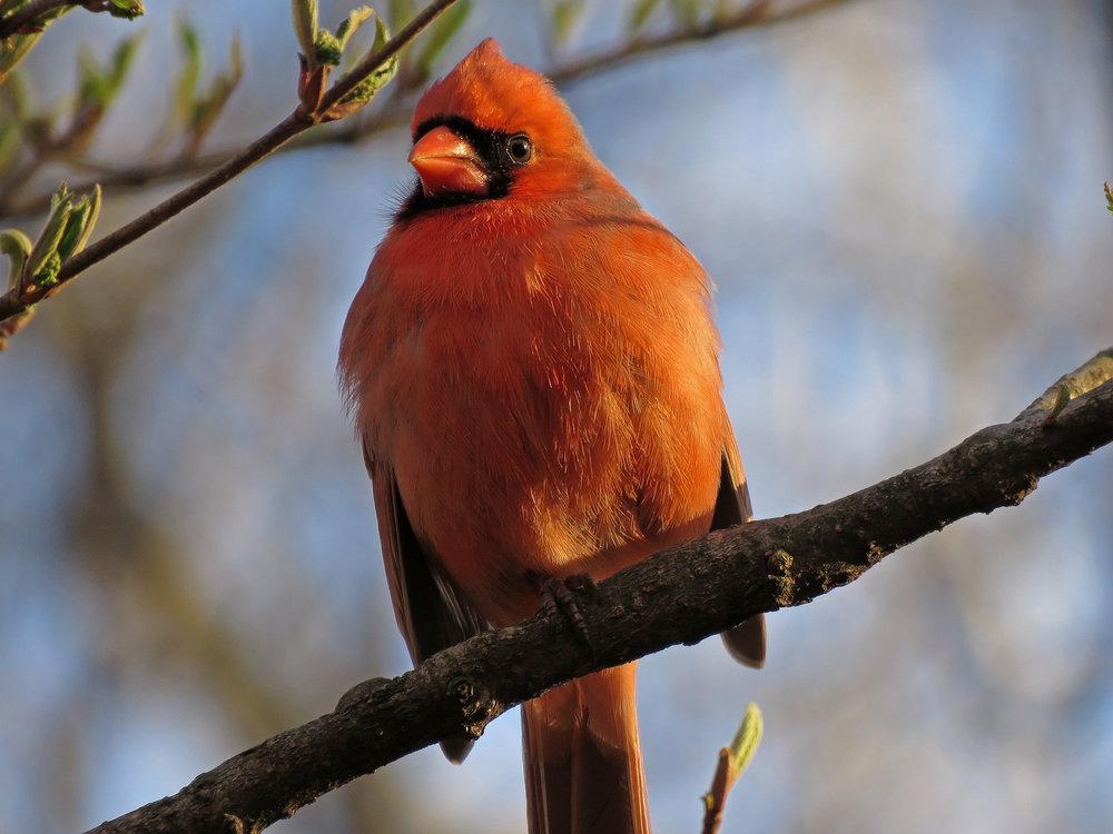 Cardinal 1500 3-31-2019 (55)P.jpg