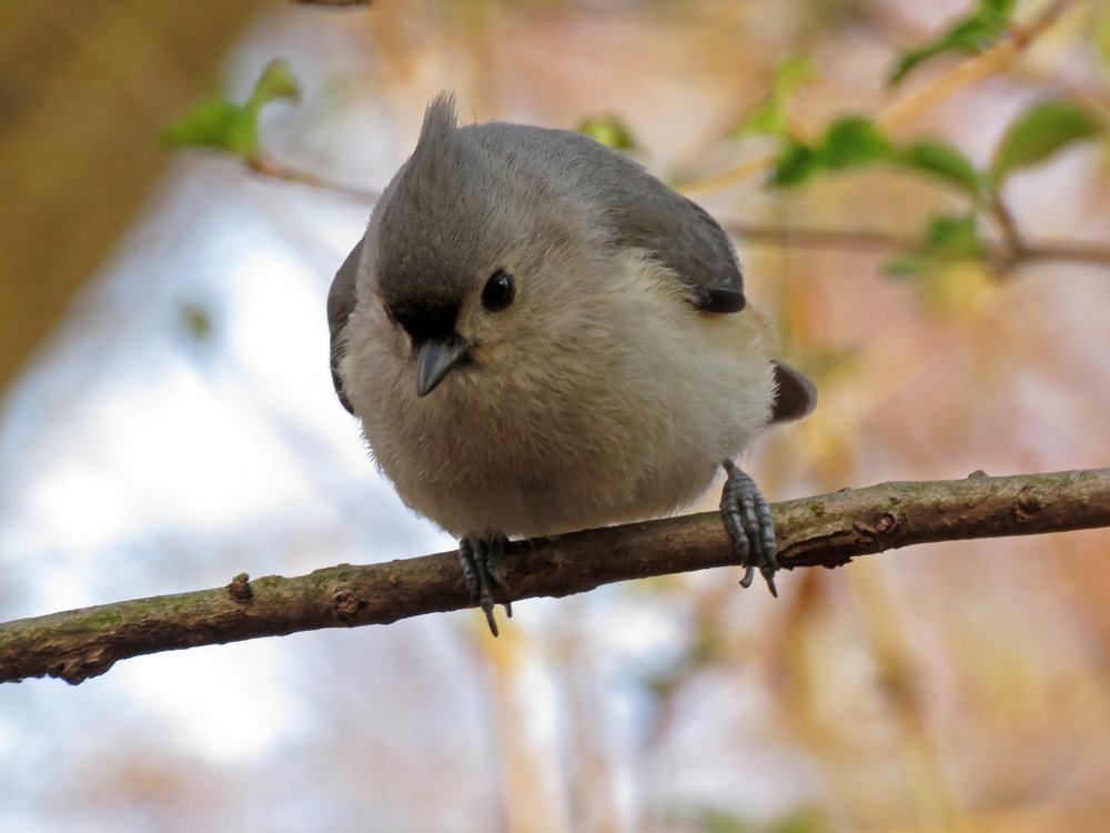 Tufted titmouse, March 31, 2019, Central Park