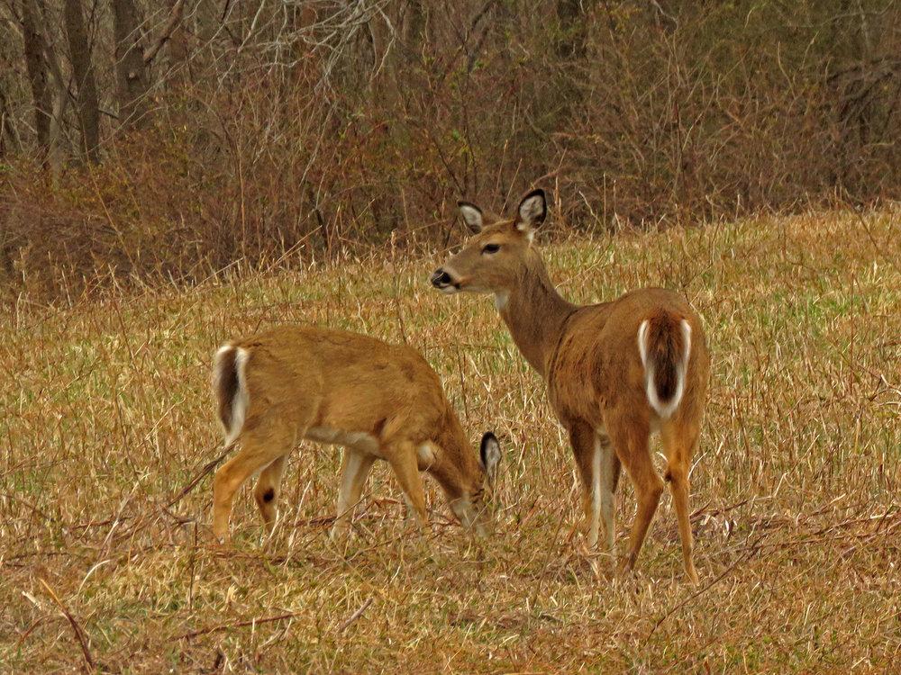 Deer 1500 4-2-2019 SI 132P.jpg