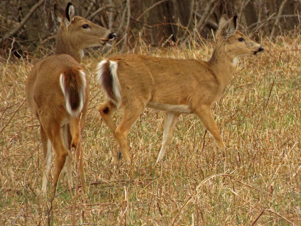 Deer 1500 4-2-2019 SI 153P.jpg