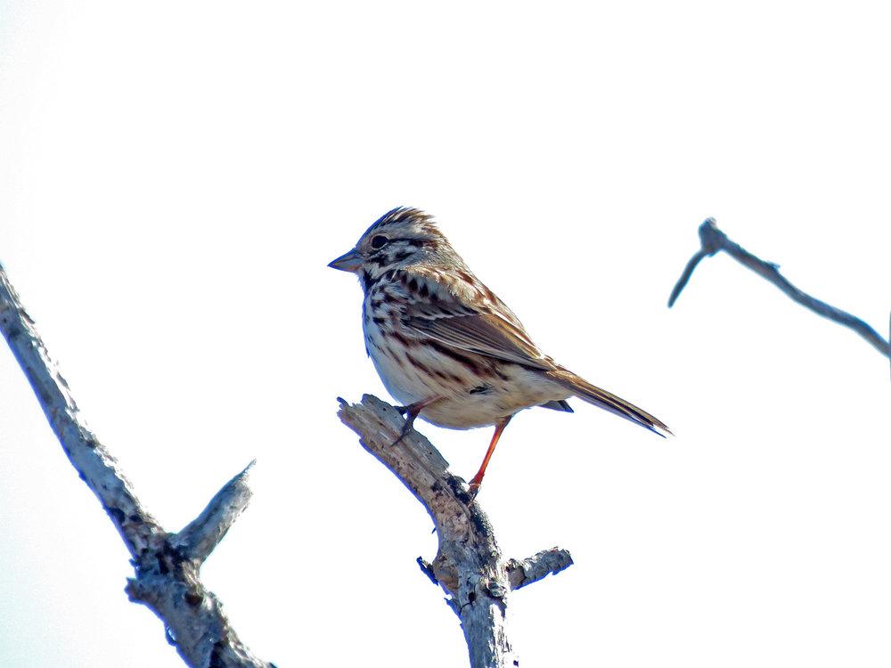 Song sparrow, Jamaica Bay Wildlife Refuge, April 6, 2019
