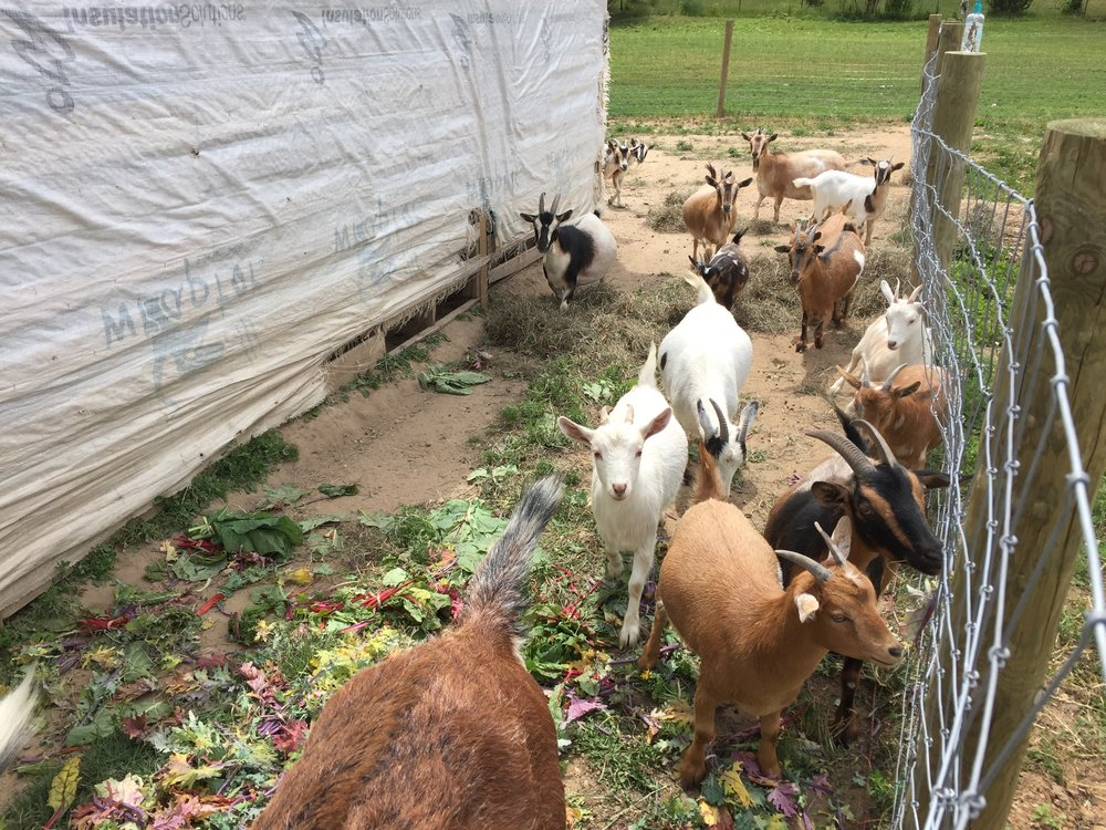Soil Friends also has 24 goats