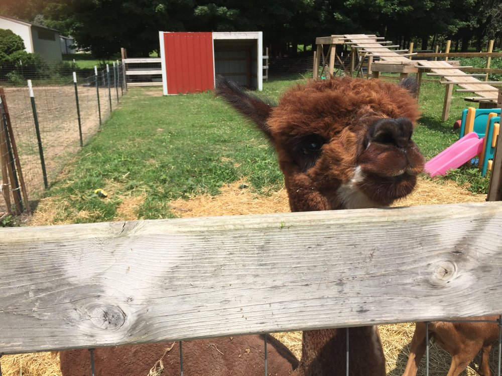 Meet Samuel the Alpaca, his wooly coat is sheered and the wool is used to create value added products.
