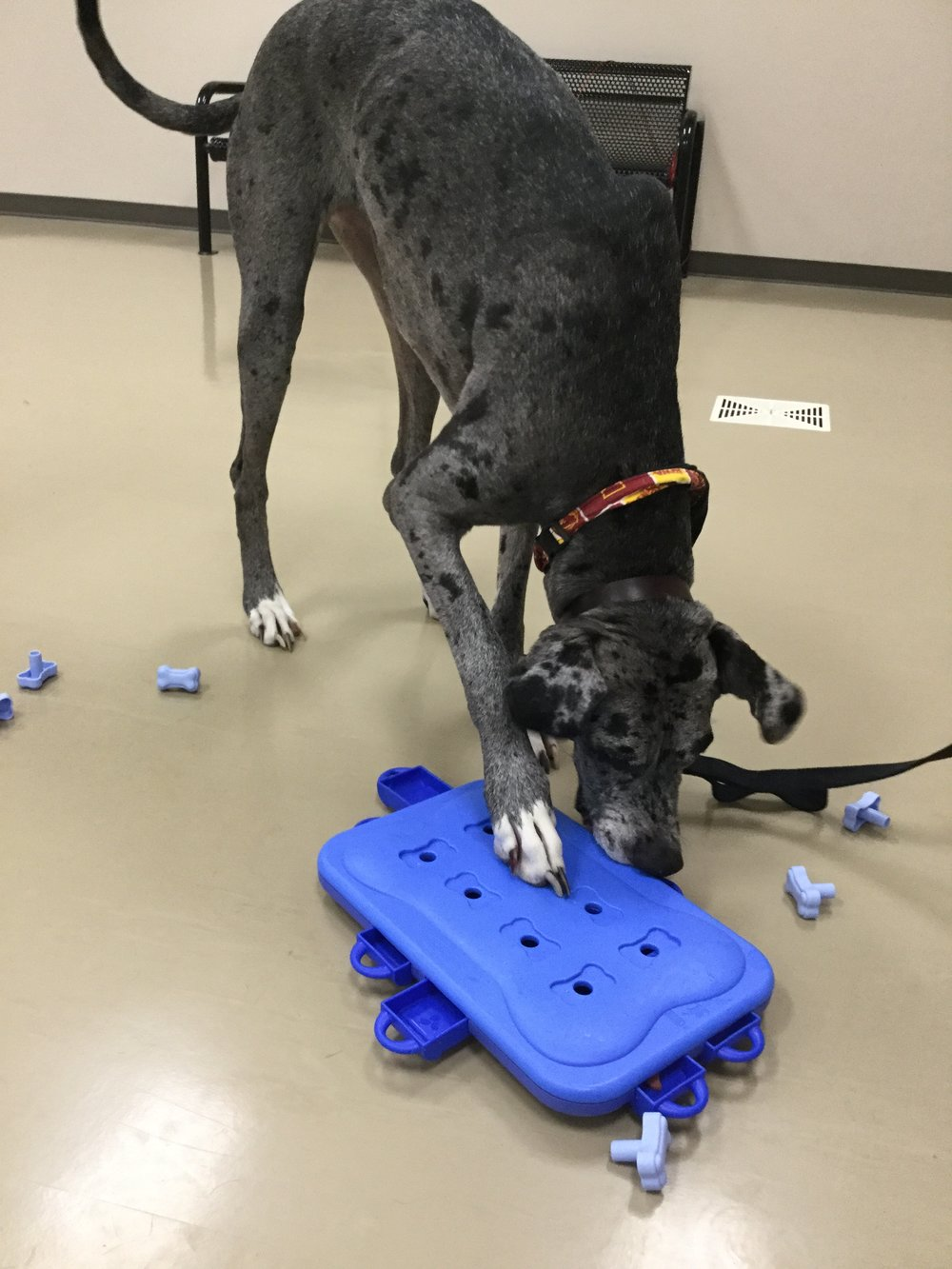 Bella quickly mastered the most difficult puzzle. Will your dog be able to raise the bar?