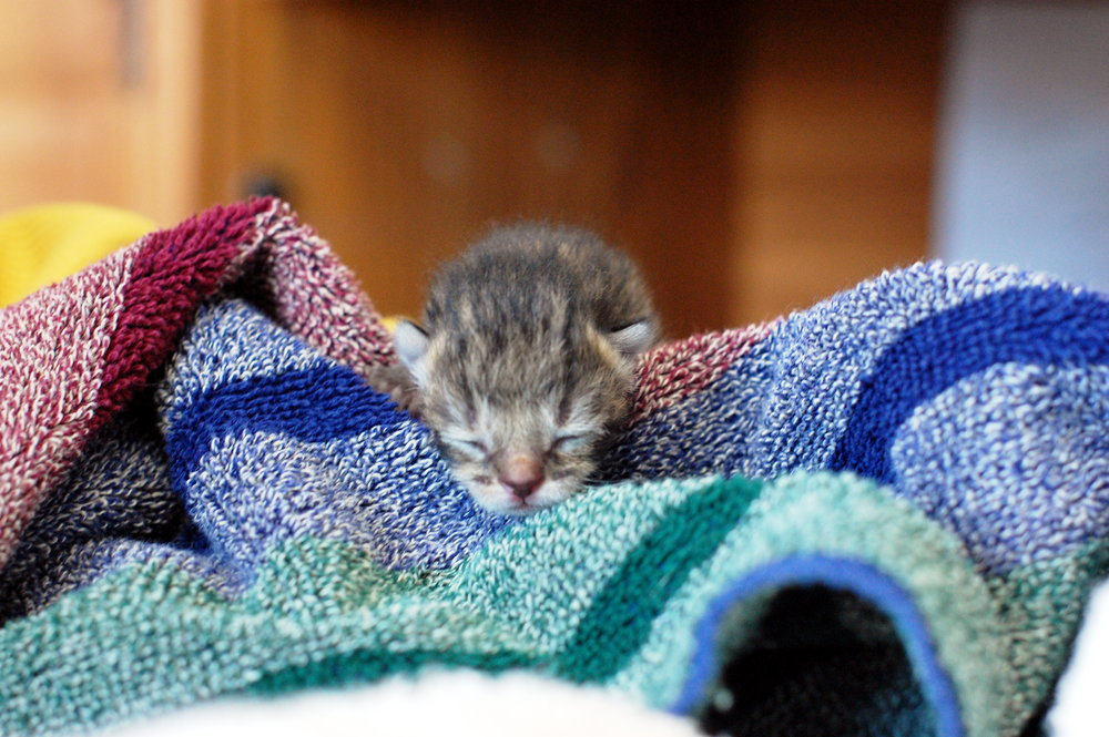 This baby kitten is all snuggled up. We have many more like her who all either need fostered or a forever home!