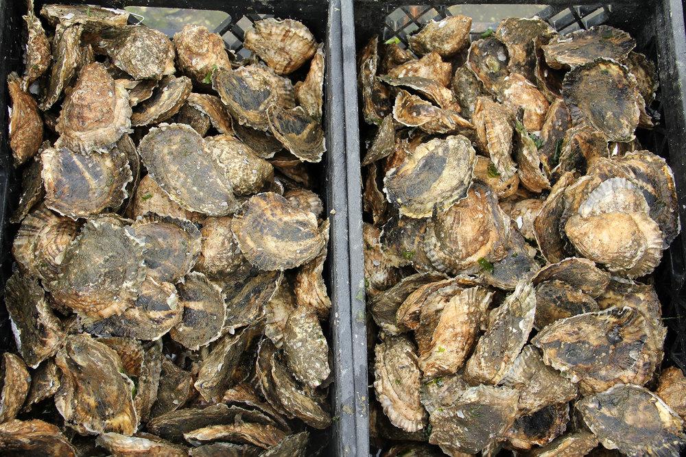 oysters-buckets.jpg