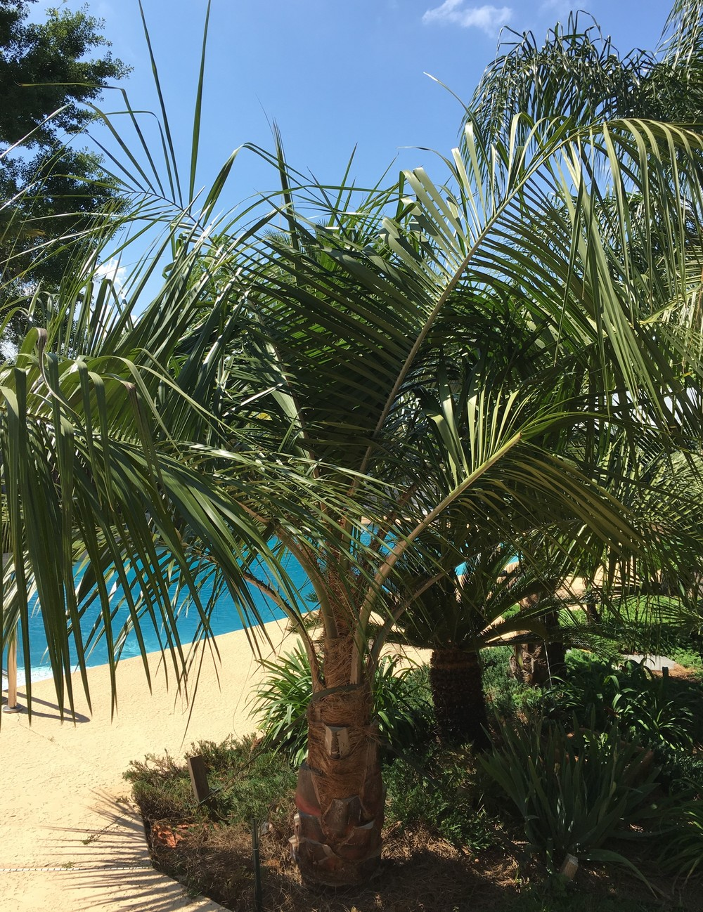"""Mule Palm planted 2013 from a 15 gal.pot. Trunk diameter is now 14""""    Photo taken April 2016."""