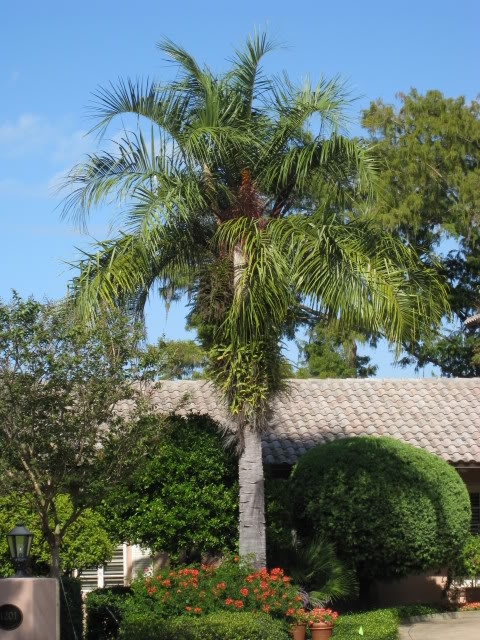 Mature Mule Palm.    Photo found online.