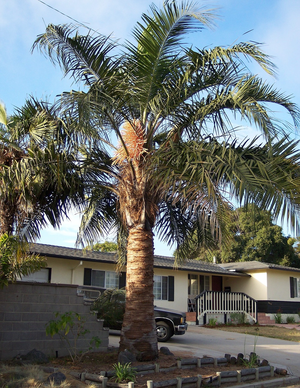 Specimen size Mule Palm.    Photo found online.