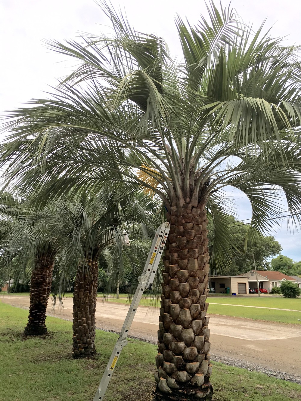 These 58 year old Butia odorata Palms are a few of what we use for seeding our Mule Palms.