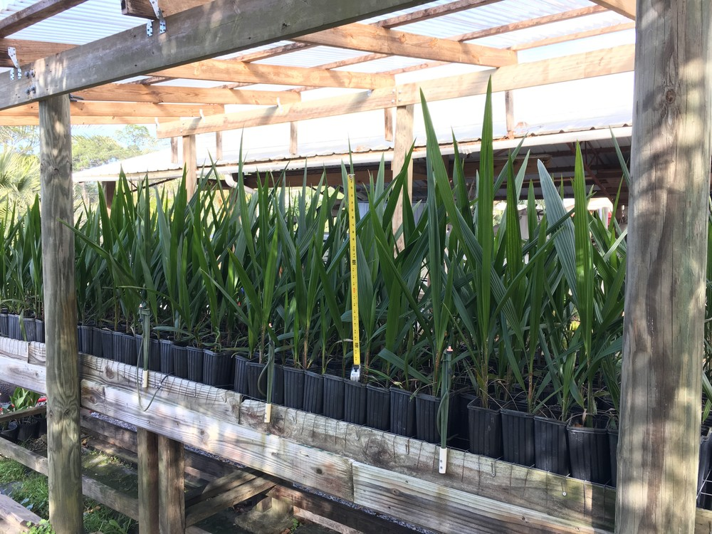 """Mule Palm liners (4""""x4""""x14"""") These are 18 months old from seed."""