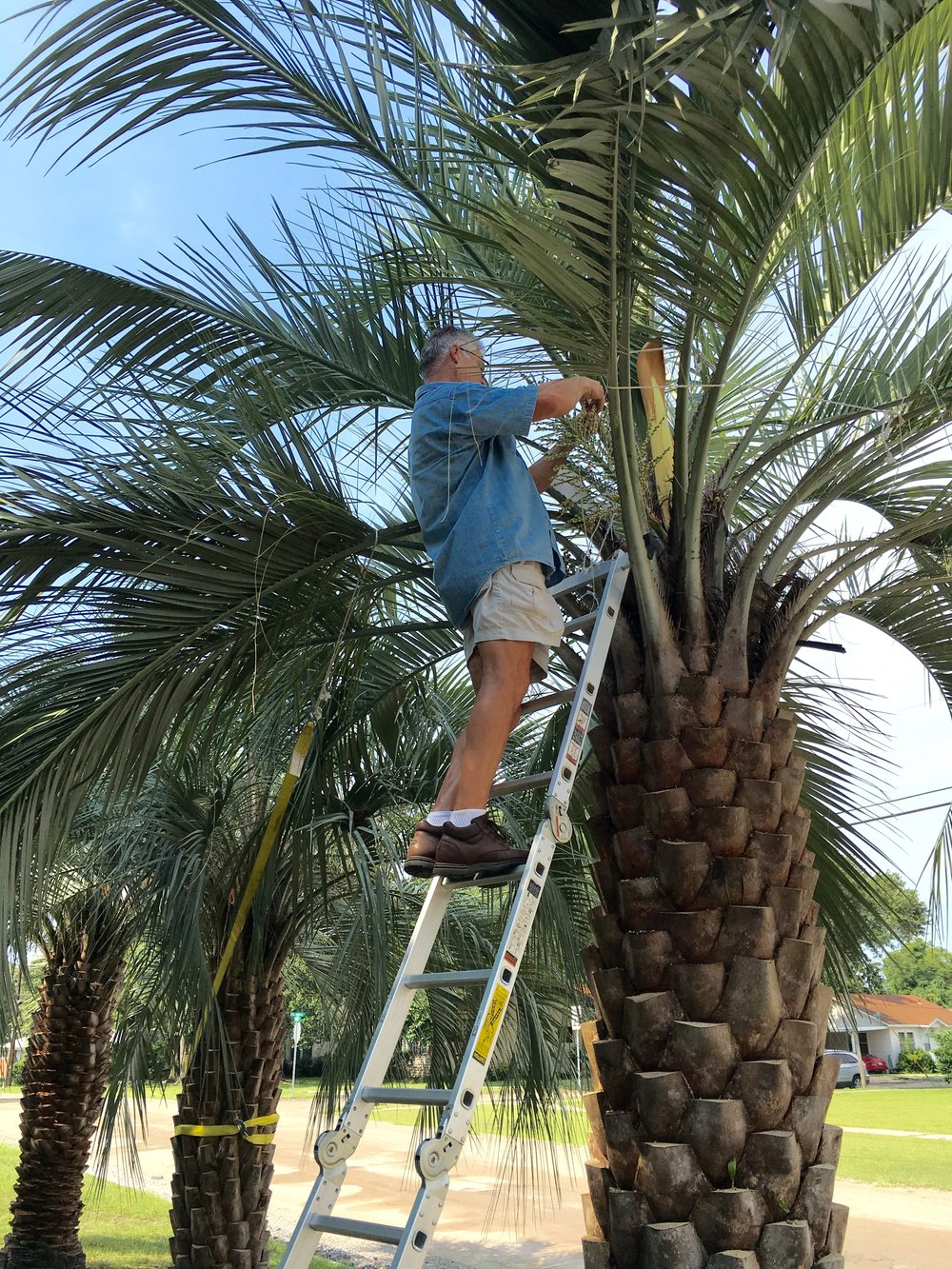 Our Butia odorata palms, flower preparation for cross pollination. (Mother)