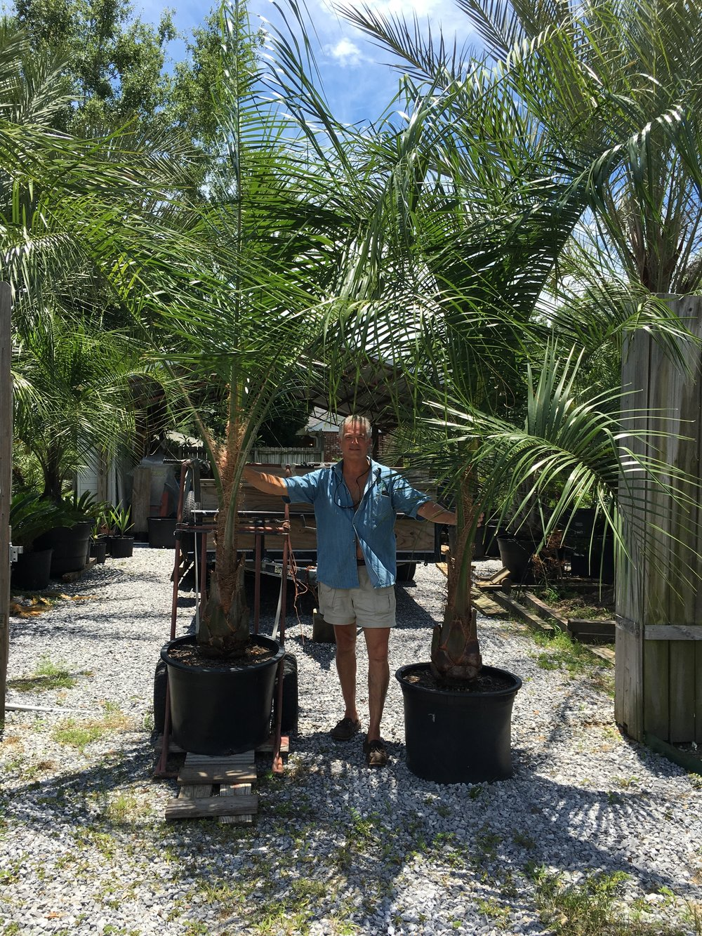 30 Gallon Mule Palms. Privacy fence is 8' high.