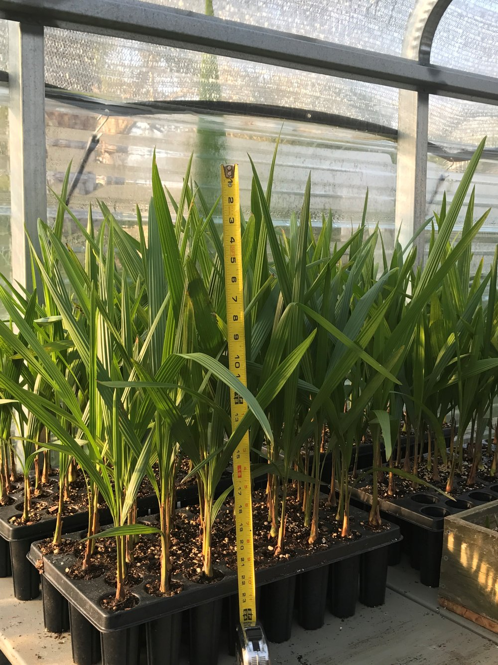 Mule Palm Seedlings