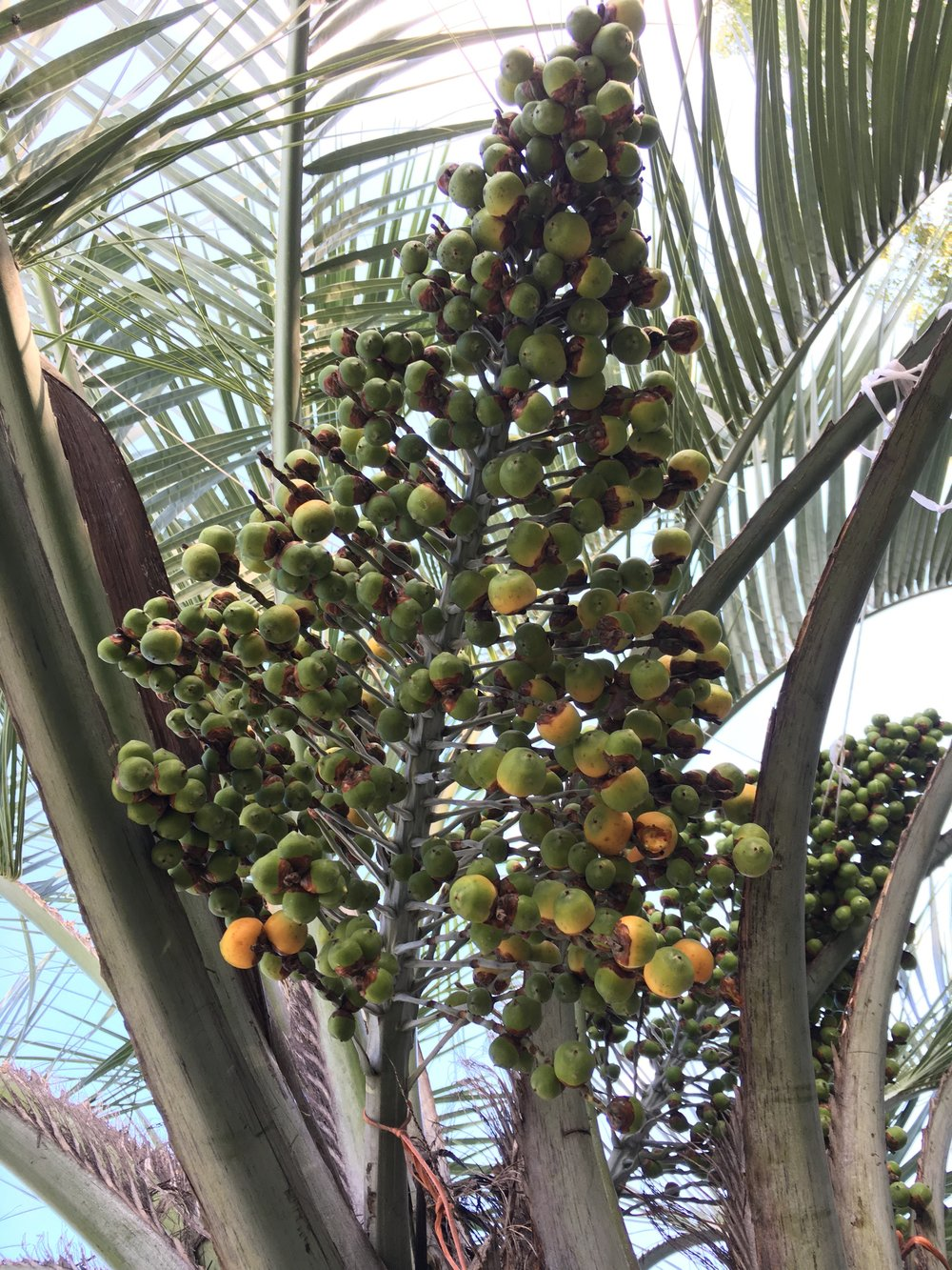 Mule Palm seeds starting to ripen.
