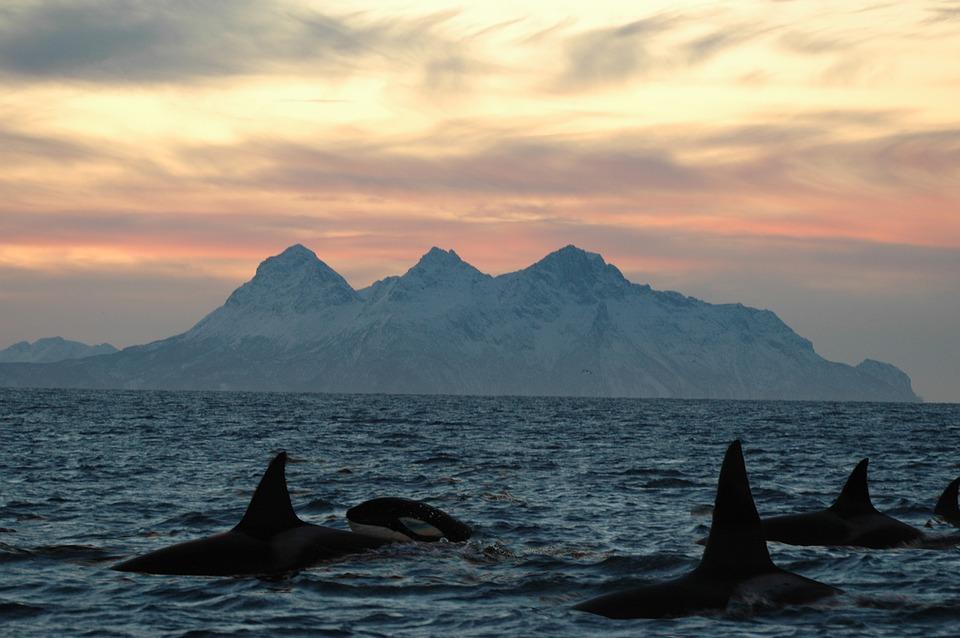 Lofoten Orca.jpg