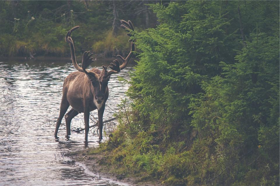 Alaska caribou.jpg